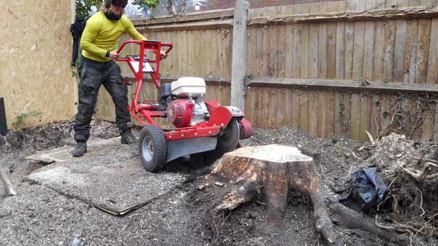 Tree surgery and stump removal in Beckenham