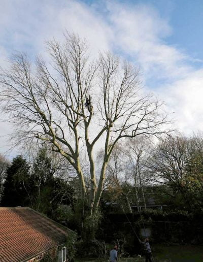 Tree surgery on plane tree in Dulwich, 1