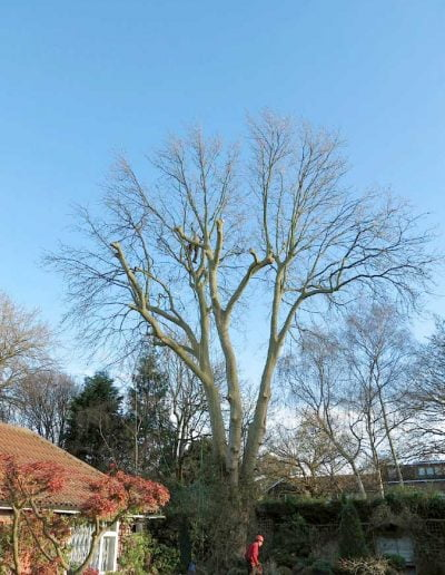 Tree surgery on plane tree in Dulwich, 3
