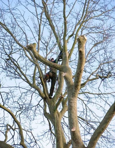 Tree surgery on plane tree in Dulwich, 4