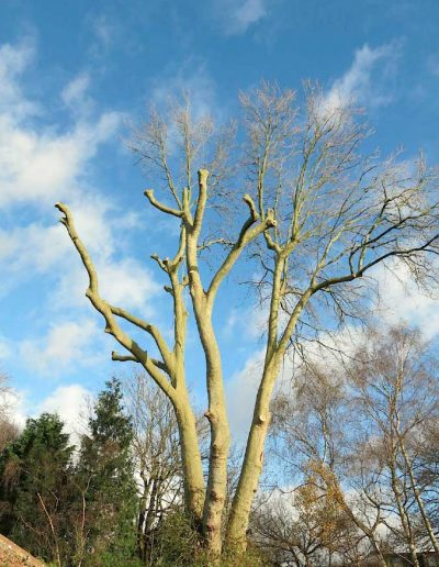 Tree surgery on plane tree in Dulwich, 5