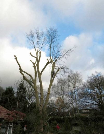 Tree surgery on plane tree in Dulwich, 6