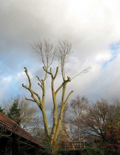 Tree surgery on plane tree in Dulwich, 7