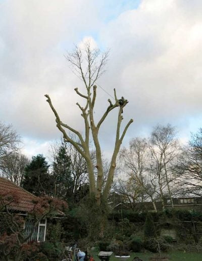 Tree surgery on plane tree in Dulwich, 8