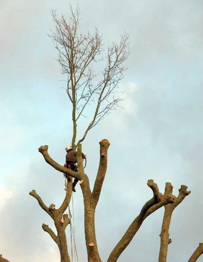 Tree surgery on plane tree in Dulwich, 9