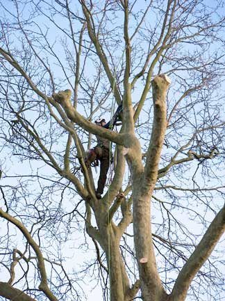 Tree surgery on plane tree in Dulwich
