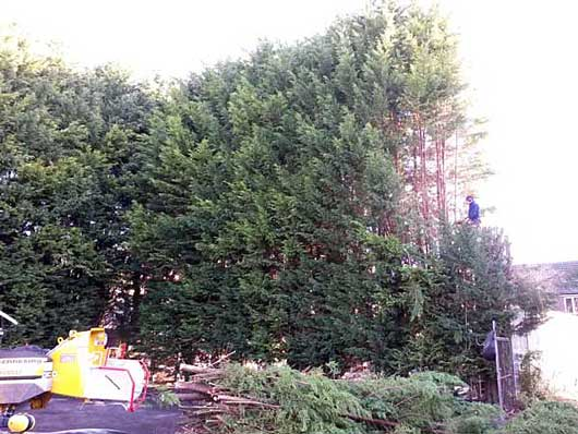 Cutting a large hedge