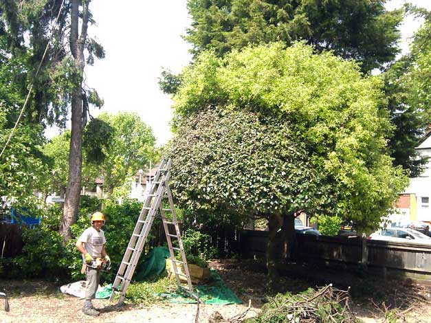 Cutting a hedge with a ladder
