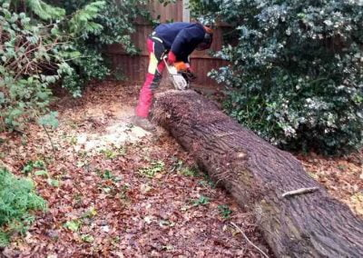 Darwin Tree Services planking an oak tree in Bromley, 1
