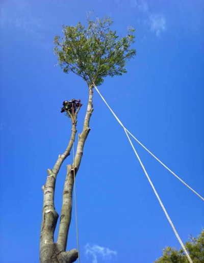Darwin Tree Services removing an ash tree in Petts Wood