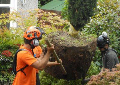 Darwin Tree Services planting pine trees in Elmstead Wood, Chislehurst