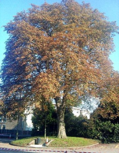 Tree Reduction in Bromley, 2