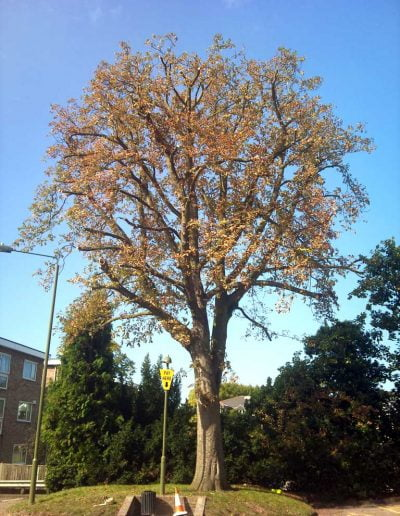 A horse chestnut tree in Bromley reduced by Darwin Tree Services