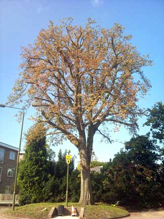 Horse Chestnut Tree Reduction in Bromley