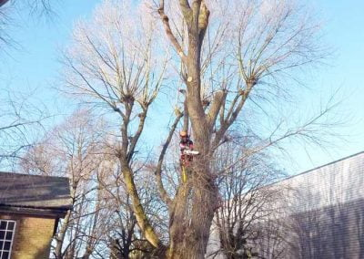 Poplar Tree Removal, Biggin Hill, 3