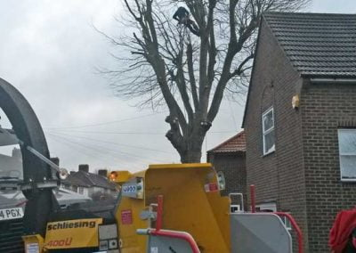 London Plane Tree Removal, Bromley, 1