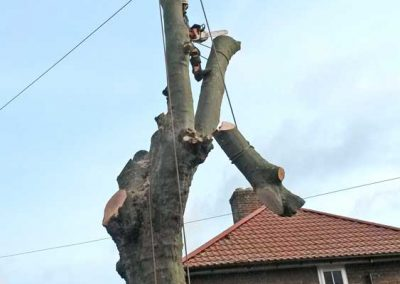 London Plane Tree Removal, Bromley, 3