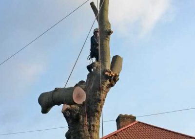 London Plane Tree Removal, Bromley, 4