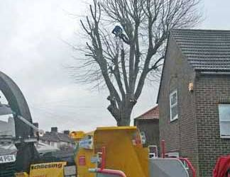 Felling a London Plane Tree