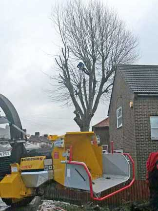 London Plane Tree Removal, Bromley