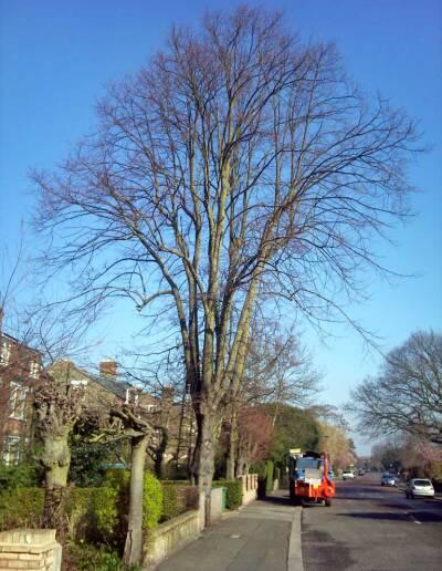 Tree Surgery Dulwich 1