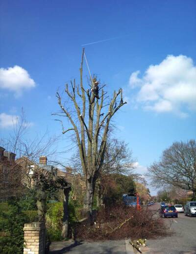 Darwin Tree Services reducing a lime tree in Dulwich